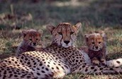a cheetah with it's cubs