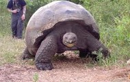 Hood tortoise