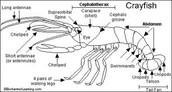 External of Crayfish
