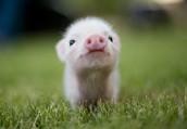 Piggies,