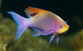 Male purple Anthias