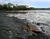 Giant sea turtles are know to hangout on the shoreline of this beach