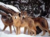 Main Animal Population
