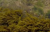 Algas pardas
