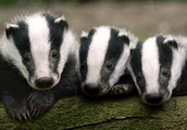 We are the Badgers Join and become a Badger now!