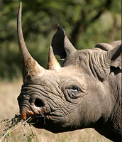 This is a Black Rhino eating