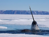 Narwhal's in the Ocean