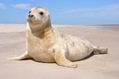 dit is een zeehond
