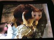 The elusive tree kangaroo.