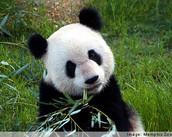 Visit the Pandas!