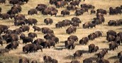 Largest Free-Roaming Herd of Bison