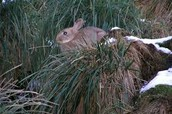 A rabbit trying to hide in the bush.