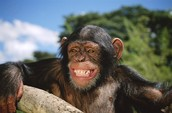 Chimpanzees are hunted for food and meat.