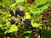 Himalayan blackberry berries