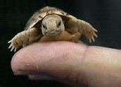 The Egyptian Tortoise