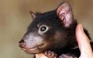 Tasmania devil baby