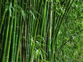 Bamboo, the giant pandas food supply