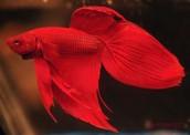 Red Vetail Betta