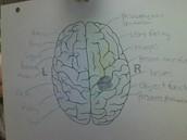 Whole- Brain Thinker