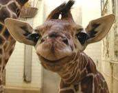 Baby Giraffe are the Best!!!