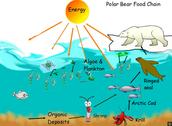 Polar Bear's Food Sources