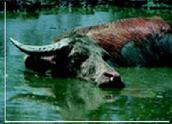 Water Buffalo Fights