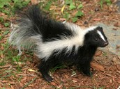 Urban Animal Encounters: Skunks and Armadillos! (1-5)