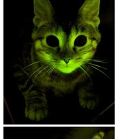 Transgenic Cat
