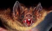 Where do vampire bats live?