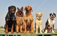 We walk big dogs
