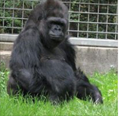 The Gorilla Foundation