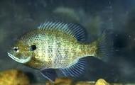 Blue gill fish