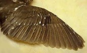 Owl's Wings