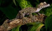 Giant Leaf-tailed Gecko