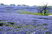 Texas Bluebonnet ❀❀❀❀❀❀❀❀❀❀