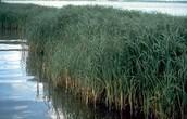 Spartina Grass