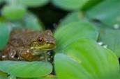 Amphibians (C)