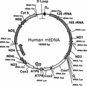 Mitochondria DNA