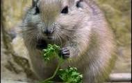 Sand Fat Rat