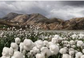 The CottonGrass