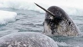 Narwhal's in the Polar Atmosphere