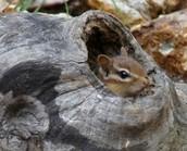 Chipmunk Habitat..