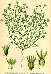 Il Fiore - Scleranthus