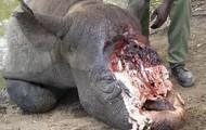 Black Rhino Hurt