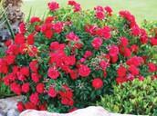 My Grandma's favorite flowers are roses
