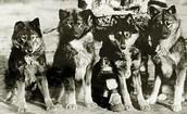 Seppala's dogs