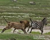 Ahhhhhhh!!!! (says the zebra)