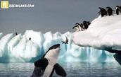 קטלן טורף פינגווין