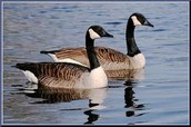 getting to know canadian goose