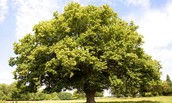 The Stand on Sycamore Tree